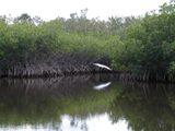 mangrove 1 thumb