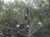 mangrove 4 thumb