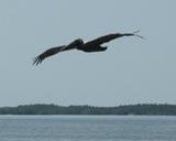 pelican 1 thumb