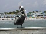 pelican 2 thumb