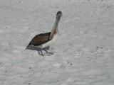 pelican 3 thumb
